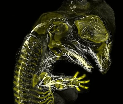 3-alligator-embryo-stage-13-nerves-and-cartilage.jpg